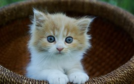 Cute furry kitten, basket