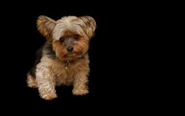 Preview wallpaper Cute puppy, black background