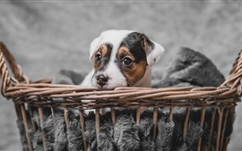 Cute puppy rest, basket