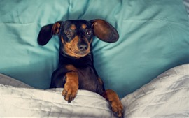 Preview wallpaper Dachshund, dog, sleep in bed