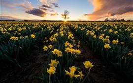 壁紙のプレビュー 水仙、黄色い花、フィールド