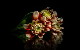 Dália, flores, cores, fundo preto