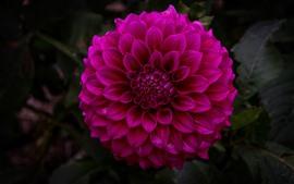 Preview wallpaper Dahlia, purple flower, garden