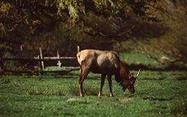 壁紙のプレビュー 鹿は草を食べる