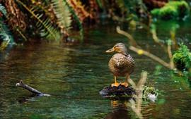 Duck, pond, water