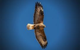 Preview wallpaper Eagle flight, wings, blue sky