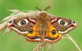 Polilla emperador, mariposa, hierba
