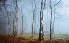 Англия, Пик-Дистрикт, Дербишир, береза, лес, туман