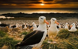 Islas Malvinas, muchos albatros de ceja negra, pájaros