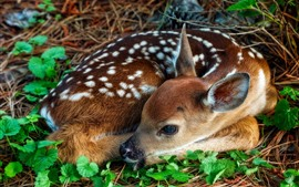 Fawn, deer, curled up