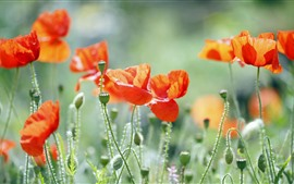 Aperçu fond d'écran Fleurs de pavot orange