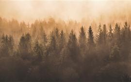 Forêt, brouillard, matin