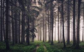 Floresta, árvores, neblina, caminho, cenário da natureza