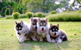 Preview wallpaper Four puppies, husky, blue eyes