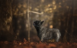 Preview wallpaper French bulldog, black dog, trees, autumn
