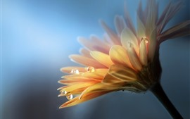 Preview wallpaper Gerbera, yellow flower, petals, water drops