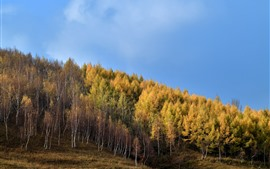 Preview wallpaper Gold autumn, birch forest, slope