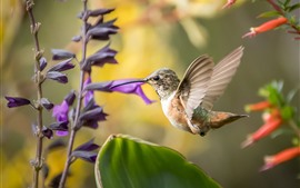Hummingbird, flight, purple and red flowers