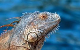 Iguana, lagarto, cabeza