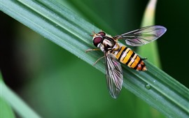 Insect, bee, green leaf