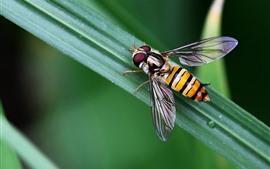 미리보기 배경 화면 곤충, 벌, 초록