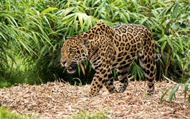 Preview wallpaper Jaguar, walk, bamboo