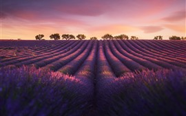 Preview wallpaper Lavender, evening, trees, dusk