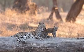 Leopard, cub