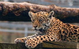 Vorschau des Hintergrundbilder Leopard, süßes Tier