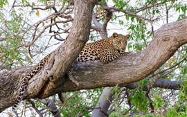 Leopard остается на дереве