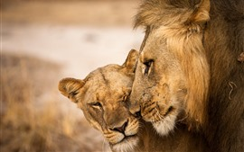 Preview wallpaper Lion and lioness, love