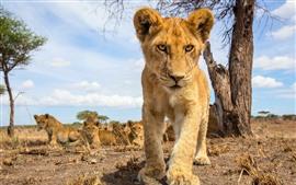Лев детеныш смотреть на вас, вид спереди