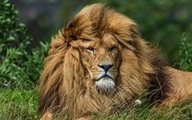Лев отдыхает в траве