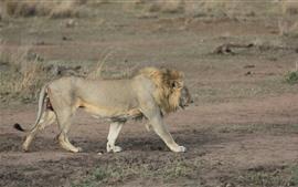 Preview wallpaper Lion walking