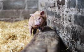 Preview wallpaper Little pig, hay