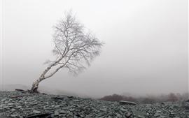 Одинокое дерево, береза, скалы, туман, утро