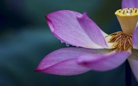미리보기 배경 화면 연꽃, 분홍색 꽃잎 매크로 사진