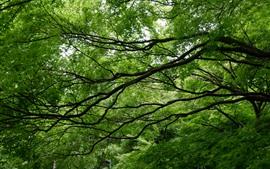 Árbol de arce, hojas verdes