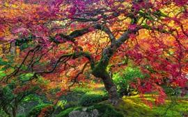 Кленовое дерево, красные листья, осень