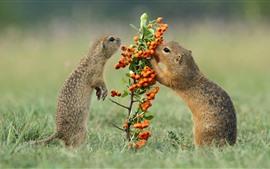 Aperçu fond d'écran Marmot manger des baies