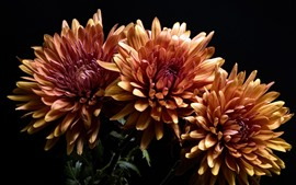 Preview wallpaper Orange chrysanthemum, black background