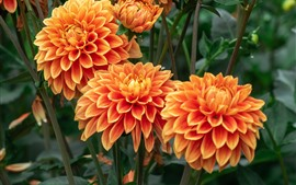 Preview wallpaper Orange dahlia flowering