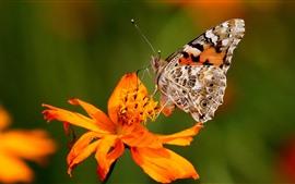 壁紙のプレビュー オレンジ色の花と蝶