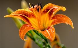 미리보기 배경 화면 주황색 꽃잎, 백합, 근접 촬영, 물방울
