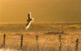 Owl flight, fence, grass, sunshine