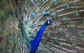 Preview wallpaper Peacock open tail, feather