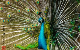Preview wallpaper Peacock, tail open, beautiful feathers