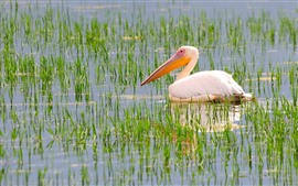 Preview wallpaper Pelican, pond, water, grass