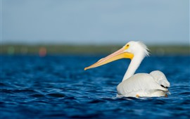 Pelican, white feather bird, sea, water
