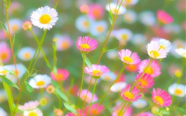 Preview wallpaper Pink and white chrysanthemum, hazy, spring